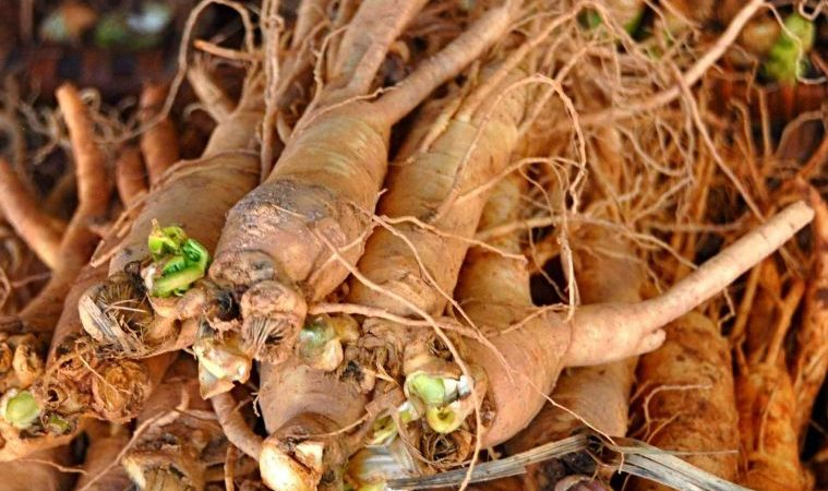 Ashwagandha Herb for Thyroid and Adrenals