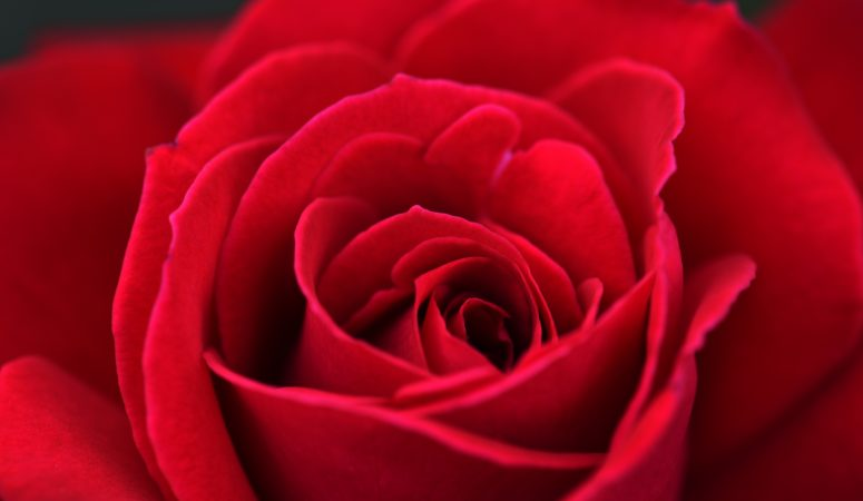 Rose: The Flower Essence of Love
